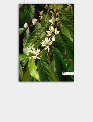 "Bild zu Poster: ""Anbau"" - Kaffeeblüten"
