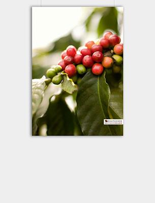 """Bild zu Poster: """"Anbau"""" - Kaffeekirschen"""