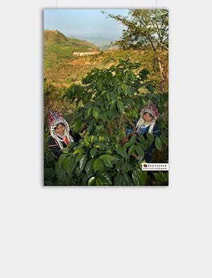 "Bild zu Poster: ""Anbau"" - Kaffeeplantage"